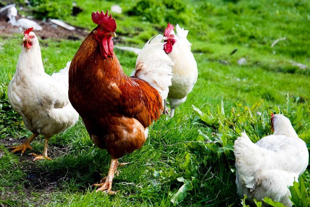 Poulets bio biocoop